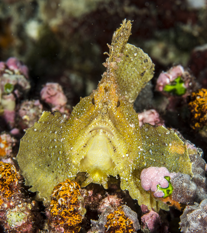 leaf-fish