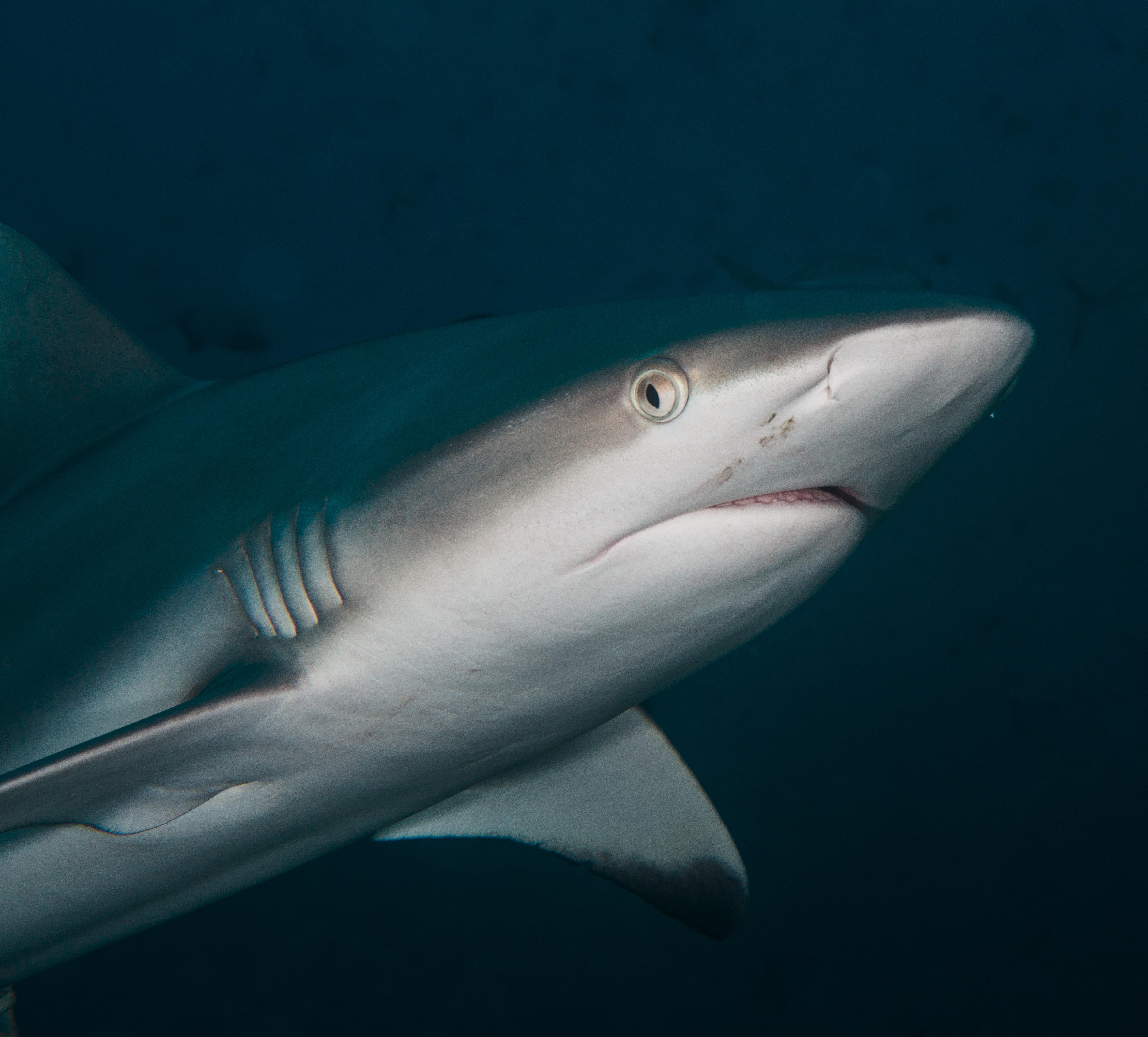 shark-portrait