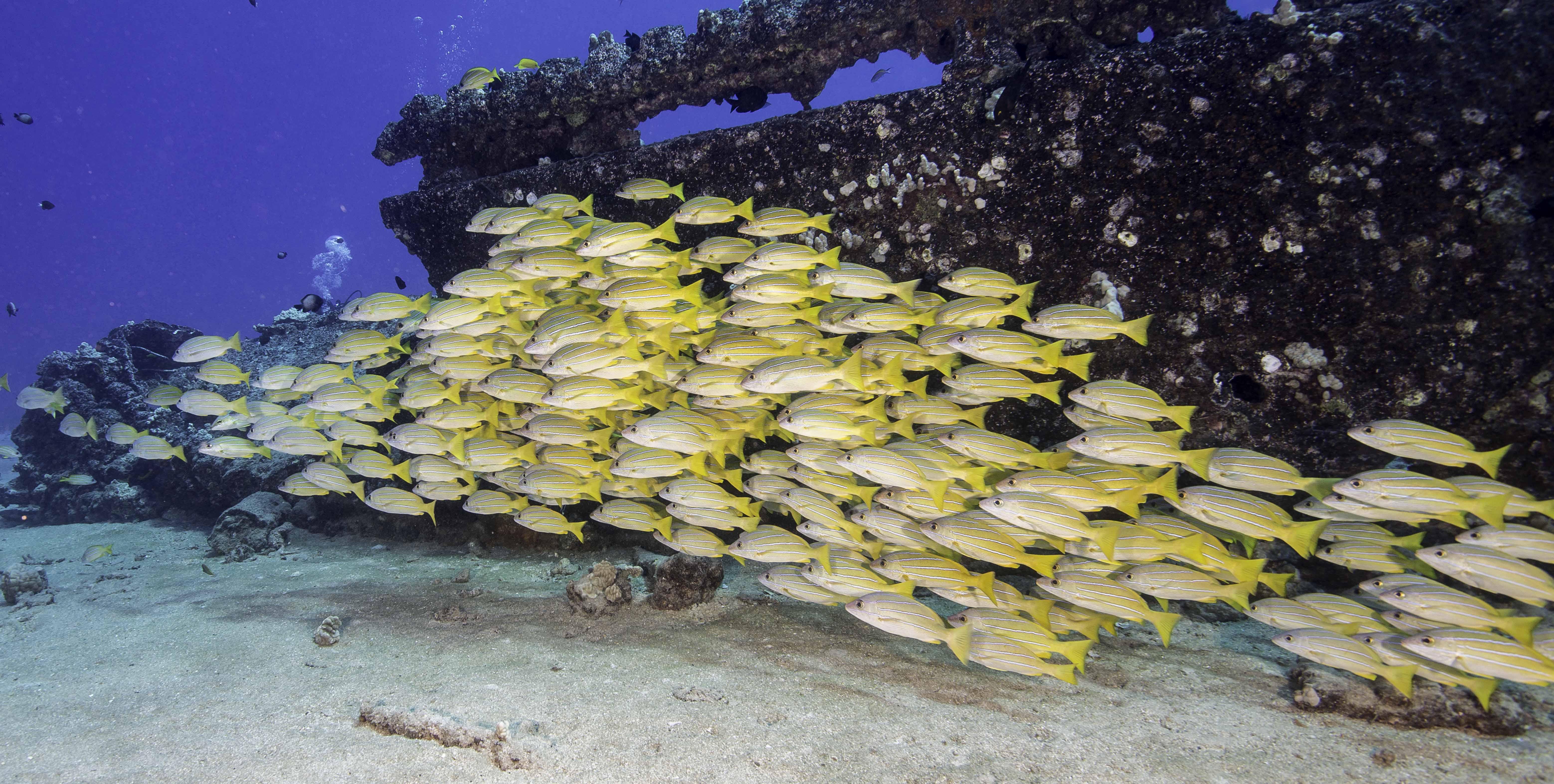 yellow cardinal fish